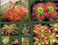 Drosera Seeds Collection (Sundew) - 100 Seeds , 10 different varieties